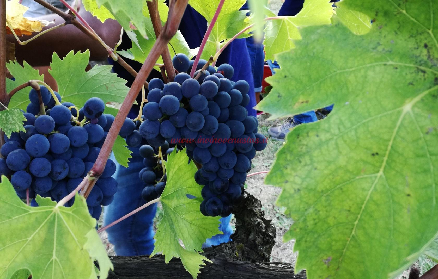 Grappoli uva in fase di vendemmia