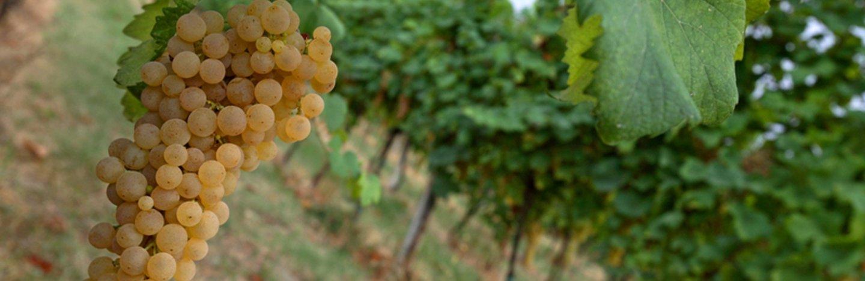 Grappolo vitigno albana