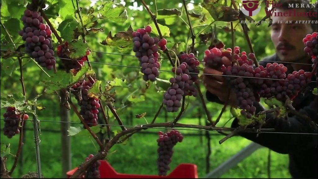 Vitigni PIWI Thomas Niedermayr approfondimento Merano Wine Festival digital edition